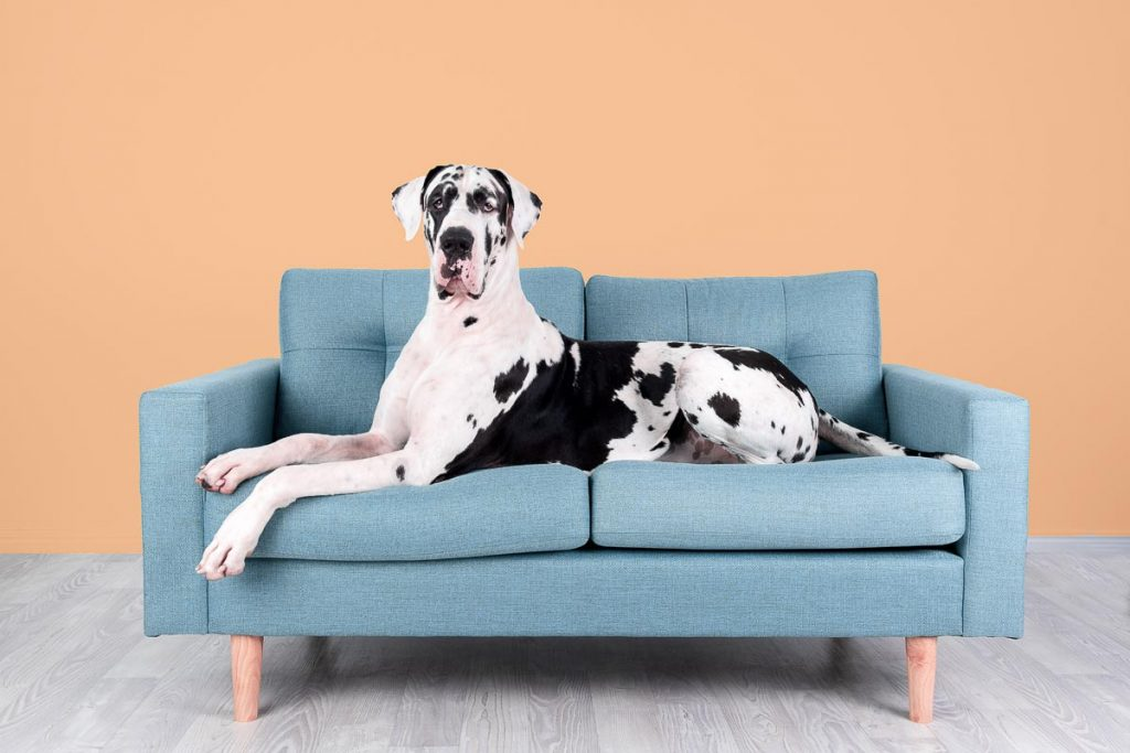 great dane on couch in modern studio pet photography brisbane gold coast australia