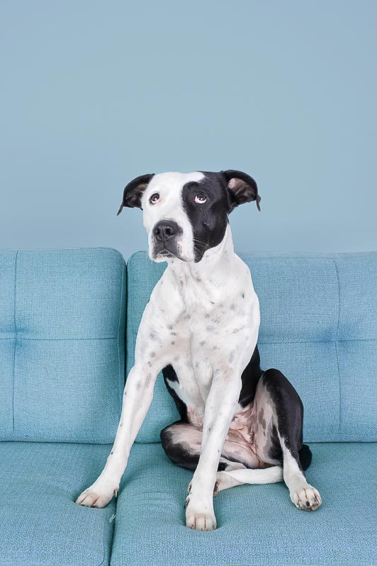 black and white dog on couch with blue wall modern studio pet photography brisbane gold coast australia