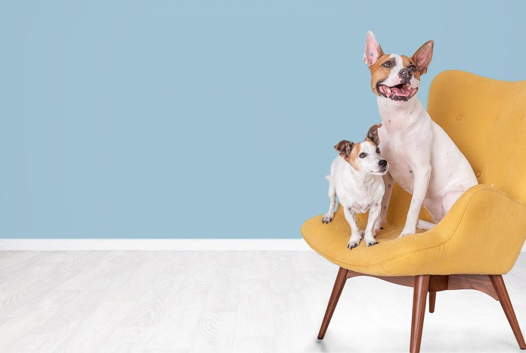 two cute white dogs on yellow chair modern studio pet photography brisbane gold coast australia