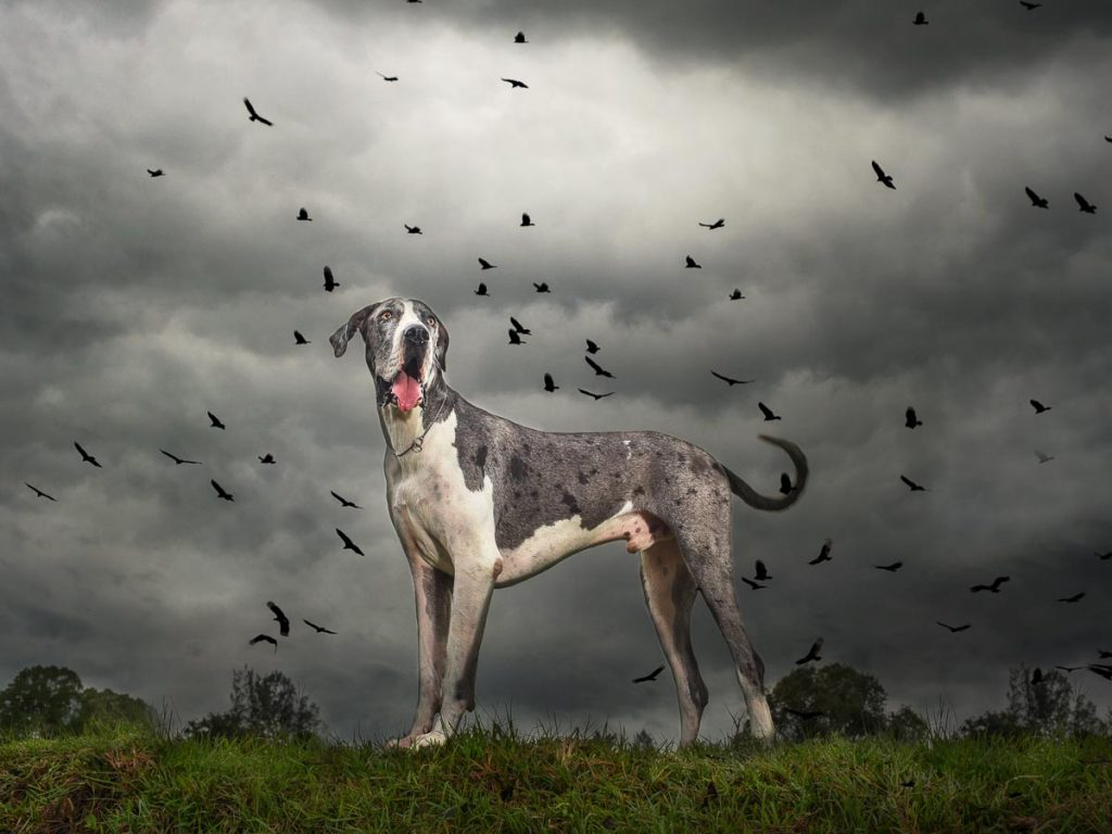 reverie series fantasy pet portrait of dramatic great dane under dark and stormy sky with crows circling overhead