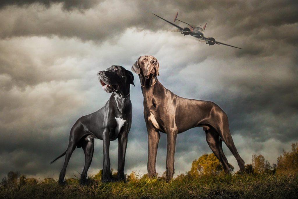reverie series fantasy pet portrait of two striking great danes under stormy sky with airplane