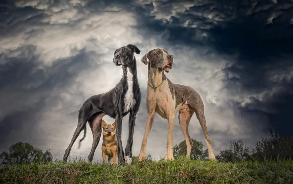 reverie series fantasy pet portrait of two great danes and one small dog with stormy skies