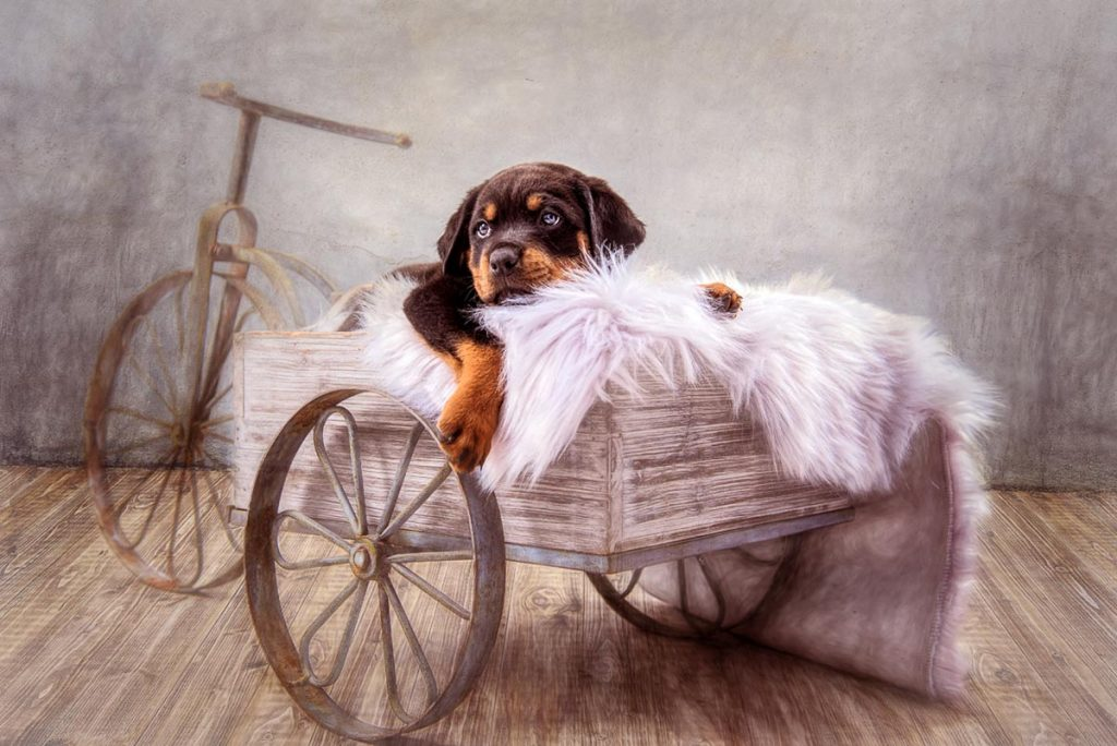 reverie series fantasy pet portrait of rottweiler puppy in old wagon
